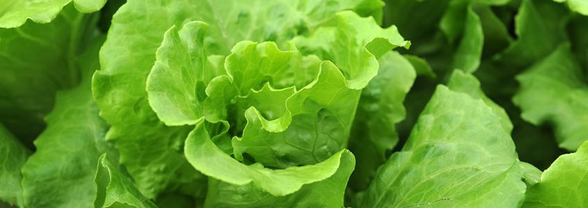 Cold Storage Lettuce